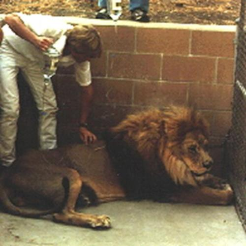 resize-Lion Getting fluids by Doctor Chris Cauble