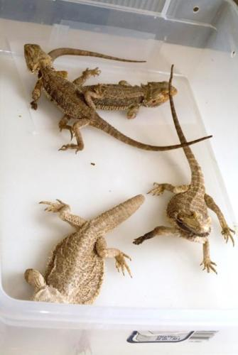 resize-bearded dragons 026