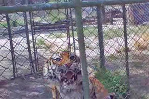 resize-TigerTeeth